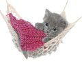 Cute gray kitten under a blanket asleep in a hammock on white background Royalty Free Stock Images