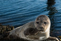 Cute gray seal taking a sunbath on rock Royalty Free Stock Photo