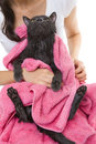 Cute gray soggy cat after a bath woman holding drying off with pink towel Stock Photos