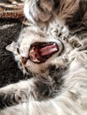 Cute gray tabby cat yawning