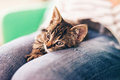 Cute Gray Tabby Kitten Resting on Top of Lap Royalty Free Stock Photo