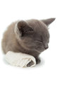Cute grey kitten sleeping with a bandage on its paw white background Stock Image