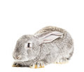 Cute grey rabbit isolated on white background Royalty Free Stock Image