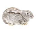 Cute grey rabbit isolated on white background Royalty Free Stock Photos