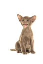 Cute grey siamese baby cat Royalty Free Stock Photo