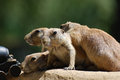 Really Cute Group of Black Tailed Prairie Dogs Royalty Free Stock Photo