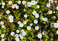 Cute group wild chamomile Royalty Free Stock Images