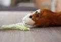 Cute guinea pig eats ñ hinese cabbage popular pet Royalty Free Stock Photos