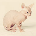 Cute hairless cat on background Stock Photos