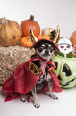 Cute Halloween Devil Dog Stock Photos