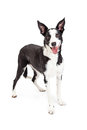 Cute and Happy Collie Crossbreed Dog Standing Royalty Free Stock Photo