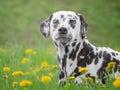 Cute Happy Dalmatian Dog Puppy...