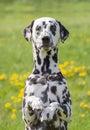 Cute happy dalmatian dog puppy sitting on fresh summer grass Royalty Free Stock Photo