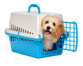 Cute happy havanese puppy dog is looking out from a pet crate reddish blue and gray isolated on white background Royalty Free Stock Image