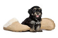 Cute happy havanese puppy dog is sitting next to slippers the owner s the owner has arrived isolated on white background Stock Image