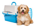 Cute happy havanese puppy dog is sitting before a pet crate reddish blue and gray and looking at camera isolated on white Stock Photo