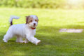 A cute, happy puppy running on green summer grass Royalty Free Stock Photo