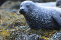 Really Cute Harbor Seal on Seaweed Royalty Free Stock Photo