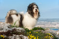 Cute havanese dog on a rocky mountain beneath a city is standing in wind landscape Royalty Free Stock Photography