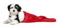 Cute havanese puppy dog is lying in a santa boots bichon christmas isolated on white background Stock Photography