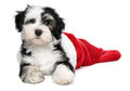 Cute havanese puppy dog is lying in a santa boots bichon christmas isolated on white background Royalty Free Stock Photography