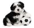 Cute havanese puppy dog with a soccer ball Royalty Free Stock Photo