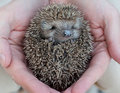 Cute hedgehog baby in male hand closeup Stock Photography