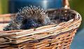 Cute hedgehog in basket closeup snout the front view Royalty Free Stock Photos