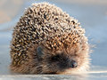 Cute hedgehog full length closeup front view looking at camera Stock Images