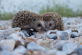 Cute hedgehog wildlife two little Royalty Free Stock Image