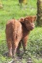 Cute highland calf looking back close up of a Stock Photos