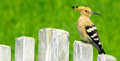 Cute hoopoe birdie with a fresh pose Stock Photography