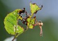 A cute horsefly this is hunchbacked it stopped on damaged leaves Stock Image