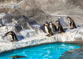 Cute humboldt penguins spheniscus humboldt in a zoo japan Royalty Free Stock Photo