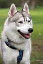 Cute husky dog portrait of a beautiful black and white siberian with brown eyes Royalty Free Stock Image