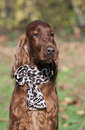 Cute irish setter female with a leopard pattern scarf on her neck Royalty Free Stock Photography