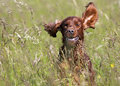 Cute irish setter young running in the grass Royalty Free Stock Image