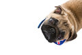 Cute isolated pug dog puppy wearing a british union jack flag scarf on a white backdrop Royalty Free Stock Images