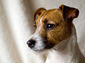 Cute Jack Russell Terrier Stock Image