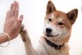 Cute Japanese Dog Give Hi-five...