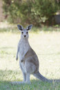 Cute Kangaroo Royalty Free Stock Photo