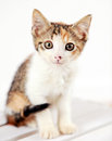 Cute kitten closeup of young with white background Royalty Free Stock Photography