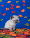 Cute kitten and fall leaves Royalty Free Stock Images