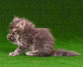 Cute kitten gray on artificial green grass Royalty Free Stock Photography