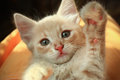Cute kitten high five little light red giving Royalty Free Stock Image