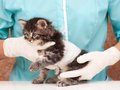 Cute kitten little on survey at the veterinarian close up Stock Image