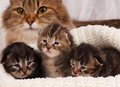 Cute kittens newborn siberian with their mother on the background Royalty Free Stock Image