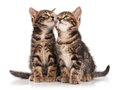 Cute kittens two serious isolated on white background cutout Stock Images