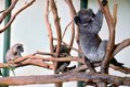 Cute koala and baby on the tree Royalty Free Stock Photos
