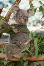 Cute koala full body portrait of photogenic sitting in a gum tree Stock Photos